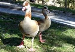 Egyptian-goose-2