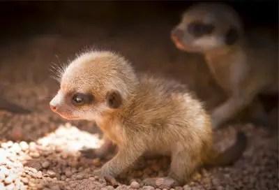 meerkat kits