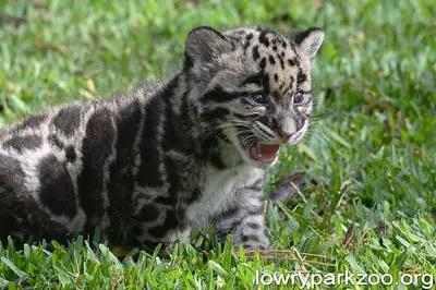 Clouded-leopard-2