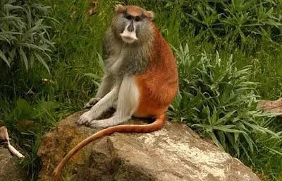 Patas-monkey-2