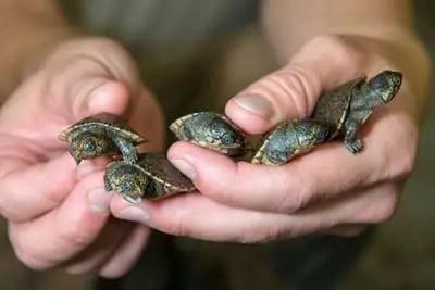 Madgascan turtles