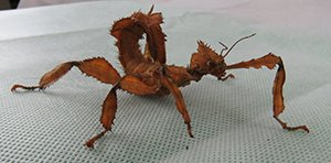Spiny Leaf Stick Insect | The Animal Facts