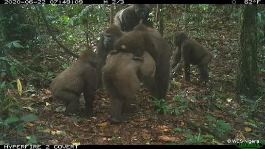 WCS Cross river gorilla