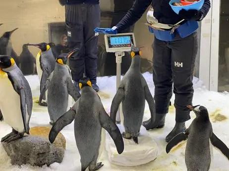 sea life melbourne junior penguin