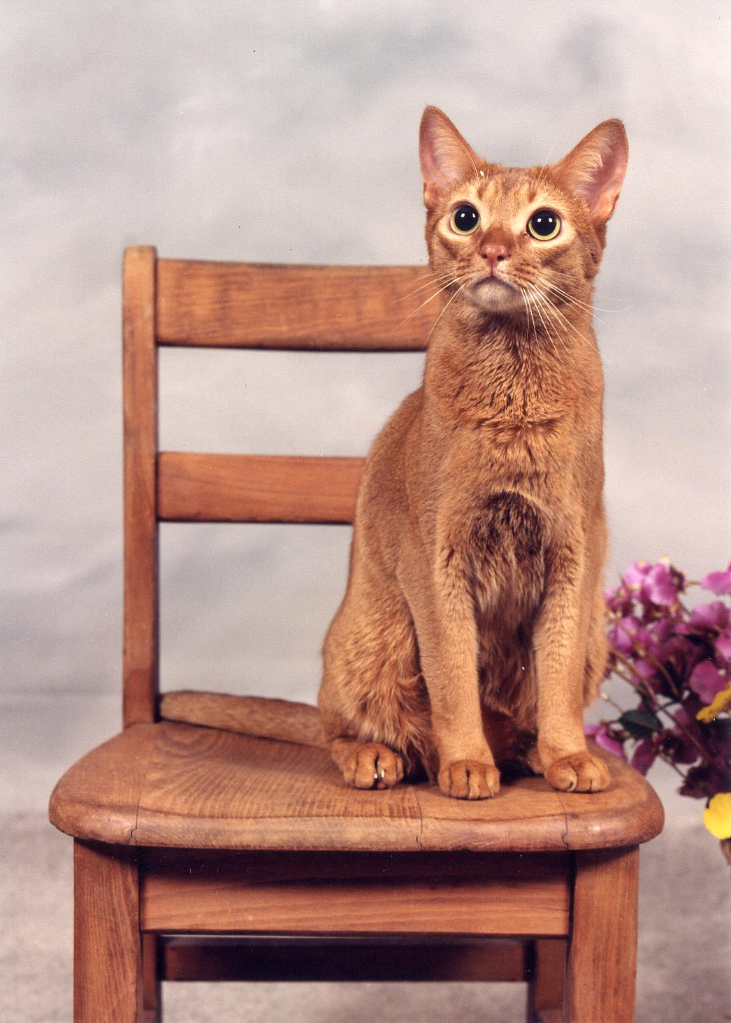 wheelchair for cats chair city oil submit webmaster site autos post