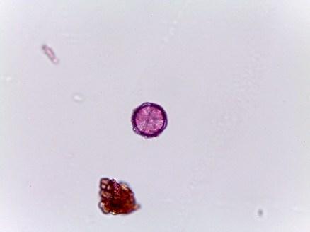 Helleborus niger–Christmas Rose