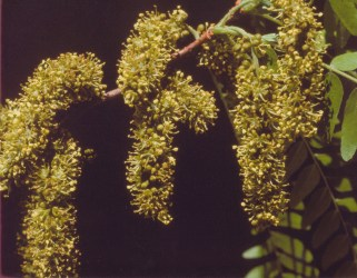 Gleditsia triacanthos–Honey Locust