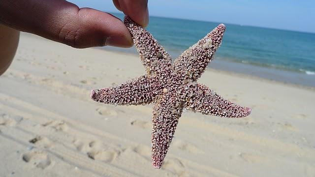 235a7-capecodstarfish