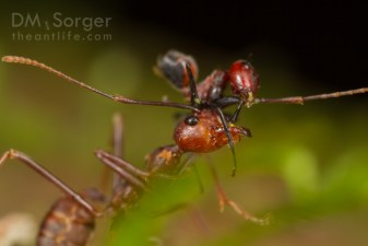 Exploding ant (Colobopsis sp.) attacking weaver ant (Oecophylla smaragdina)