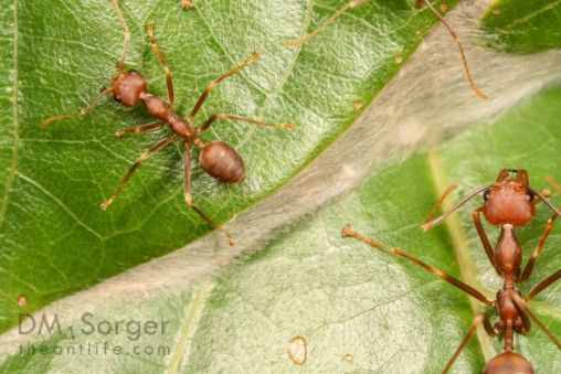 Weaver Ant nest seams sewn togethre with larval silk(Oecophylla smaragdina) -- Niah NP, Sarawak Borneo