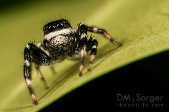 Jumping spider (Carrhotus adult male) -- Danum Valley, Sabah, Borneo