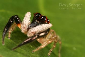 Jumping spider (Bavia) adult -- Danum Valley, Sabah, Borneo