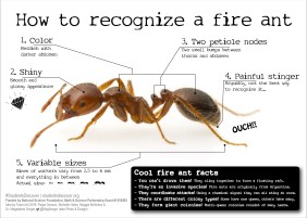 Fire Ant ID card - Bugfest Edition