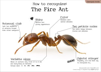 How to recognize: The Fire Ant