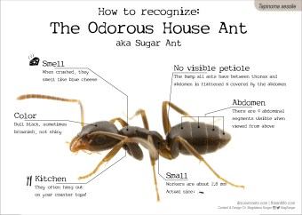 How to recognize: The Odorous House Ant