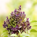 holy basil for anxiety