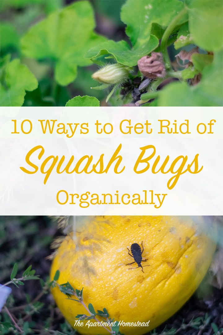 10 Ways to Get Rid of Squash Bugs Organically