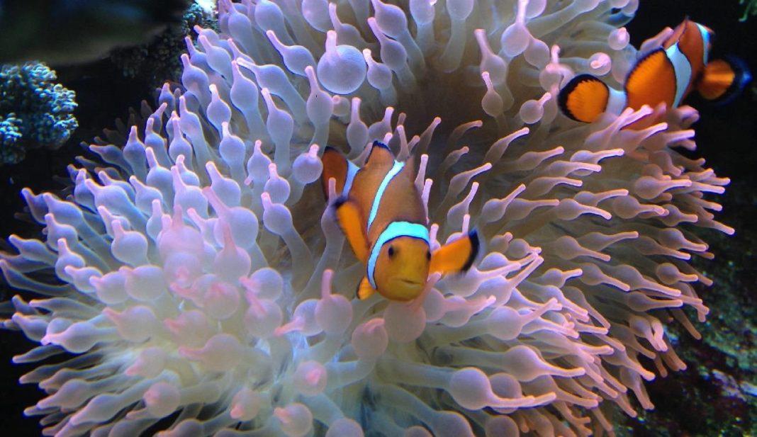 bubble tip anemone entacmaea
