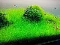 Dwarf Hairgrass on 3 x 5 mat  Foreground Carpet Aquarium ...