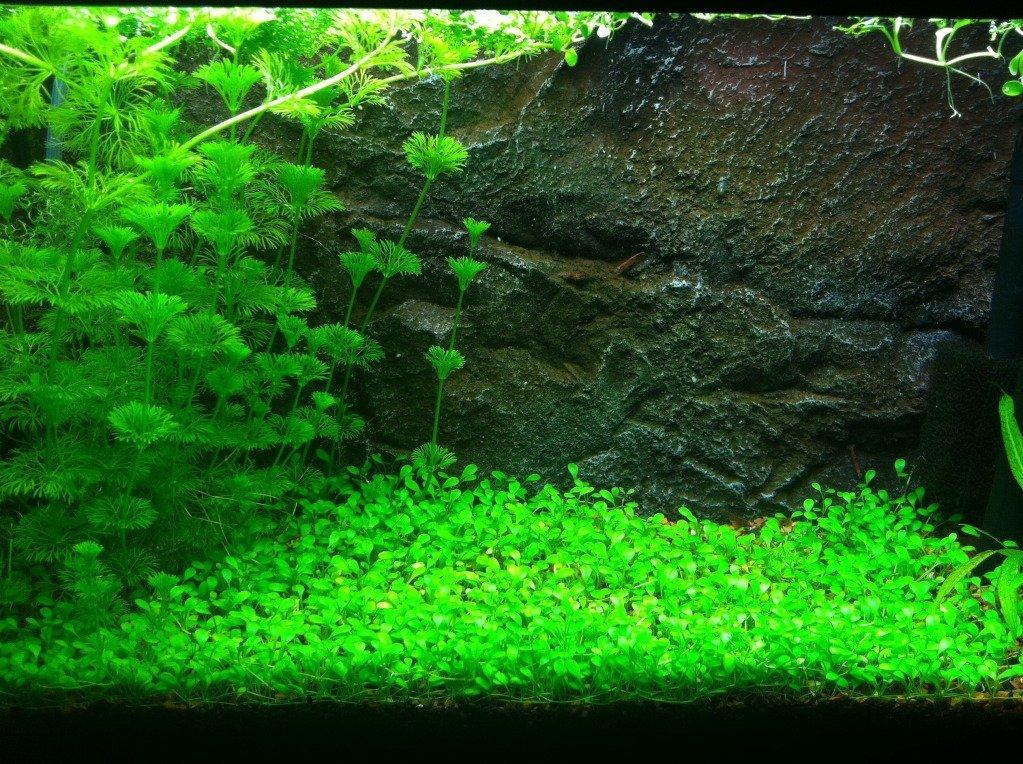 Freshwater Aquarium Plants Sale