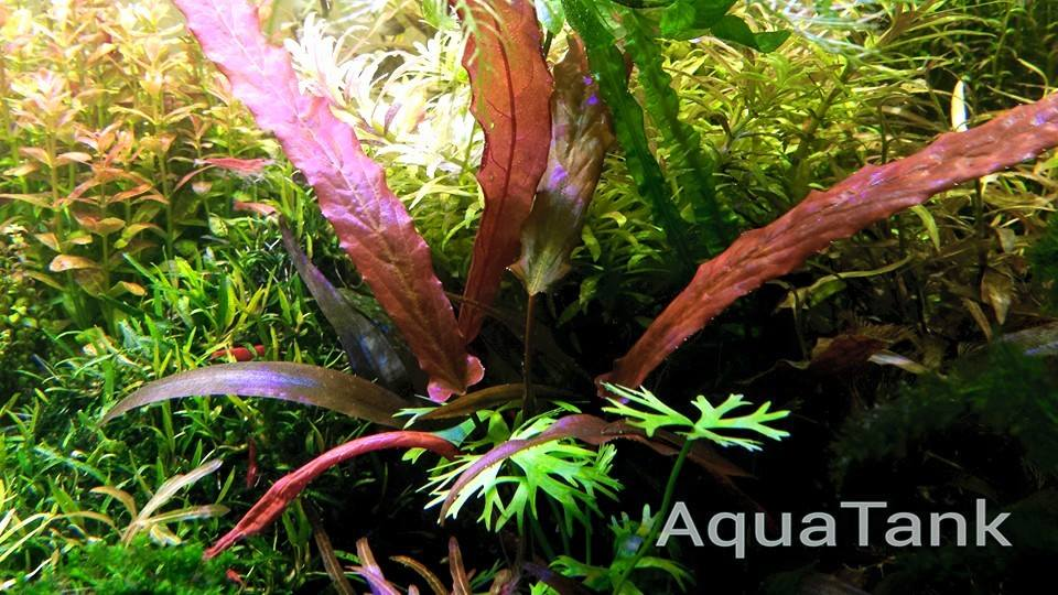 Aquatic Plants Home