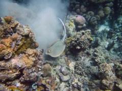 Sting Ray catch Kabalutan, Sulawesi, Indonesia. Sama Dilaut