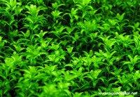 The Aquatic Plant Society  Hemianthus Glomeratus (Baby Tears)