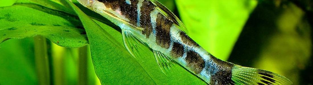 the aquatic plant society