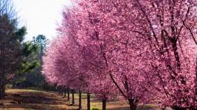 pinkTrees_001a copy