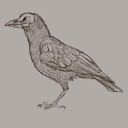 Mick Kaufer, Instructor, Standing Raven, Digital Drawing
