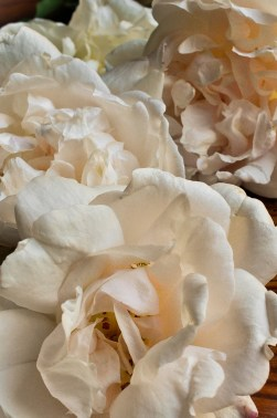 Blush roses 4