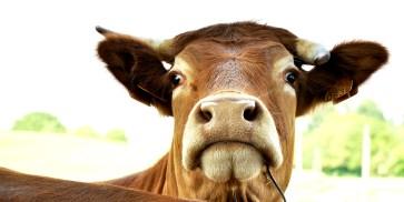 Cow 1