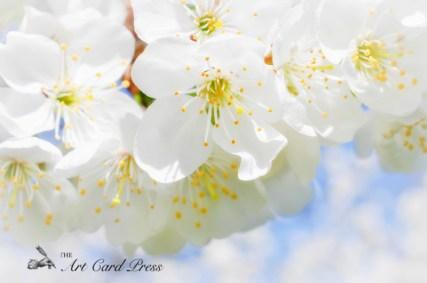 Blossom trees-011