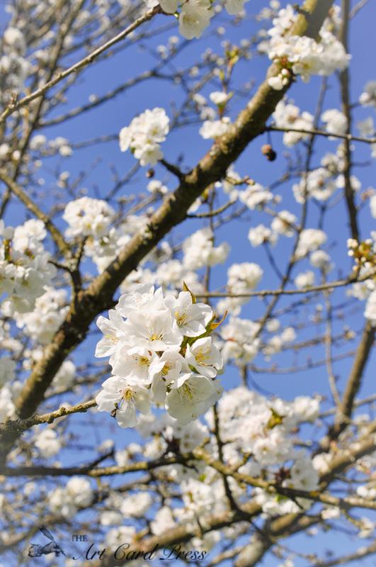 Blossom trees-11