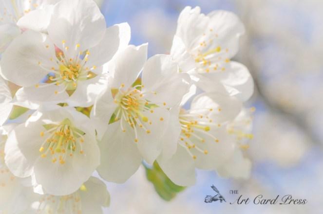 Blossom trees-3
