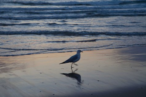 Seagull at Dusk