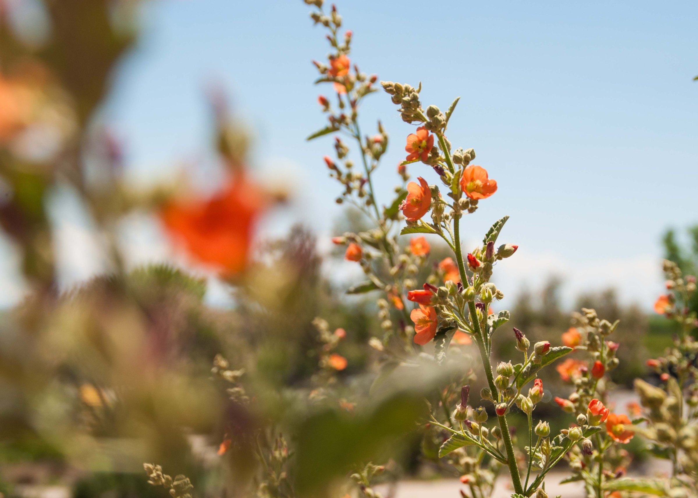 These beautiful flowers attracted many pollinators out in the New Mexico desert!