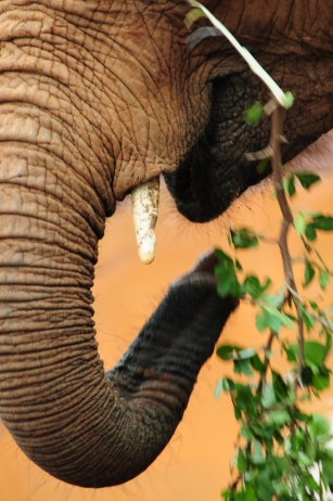 This baby is potentially in danger - not from wildlife, but from the poaching industry. The tusks are made of Ivory, something relished in the poaching world.