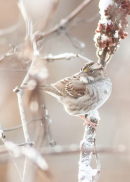 This White-Throated Sparrow loves the seeds of the Sumac during the cold winter months!