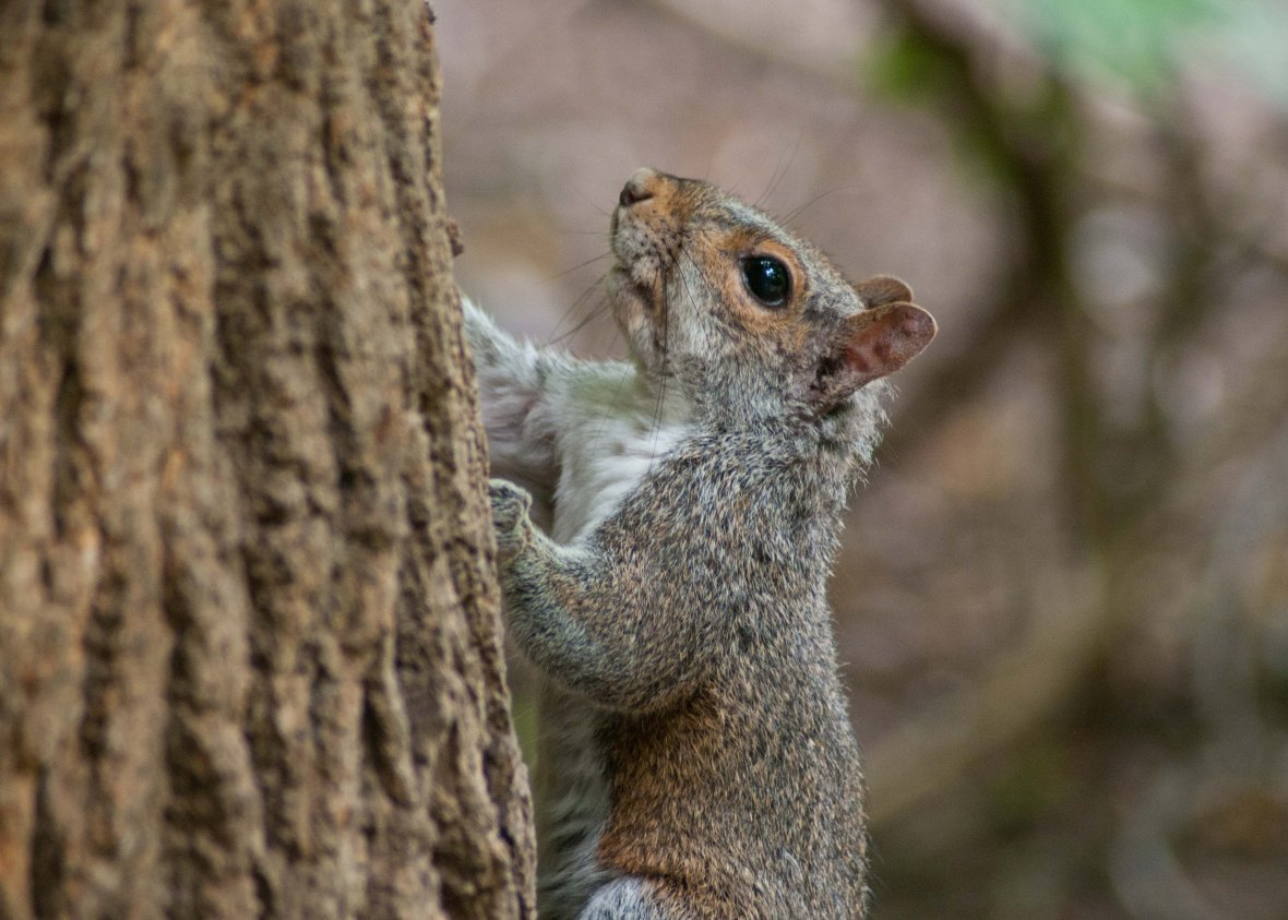 This squirrel may look as if it has some red tints to it's fur, but it's not a Red Squirrel. Red squirrels have long ear tufts, while the Eastern Grey doesn't.