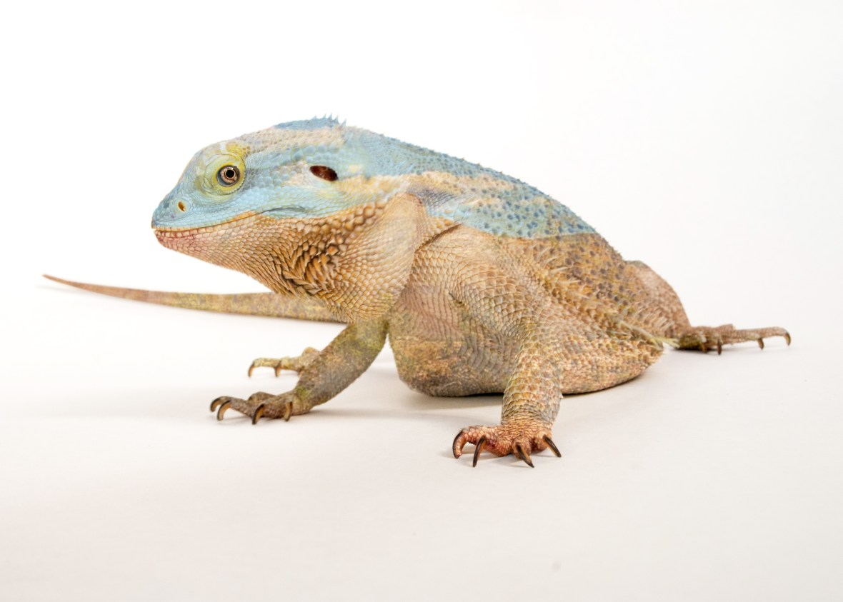 Bearded Dragons vary in color from tan, to light brown, to slightly reddish and are so colored to be able to blend in with their desert environments. This made the overlay process a little difficult as the lizard is designed to be indistinguishable from their surroundings!