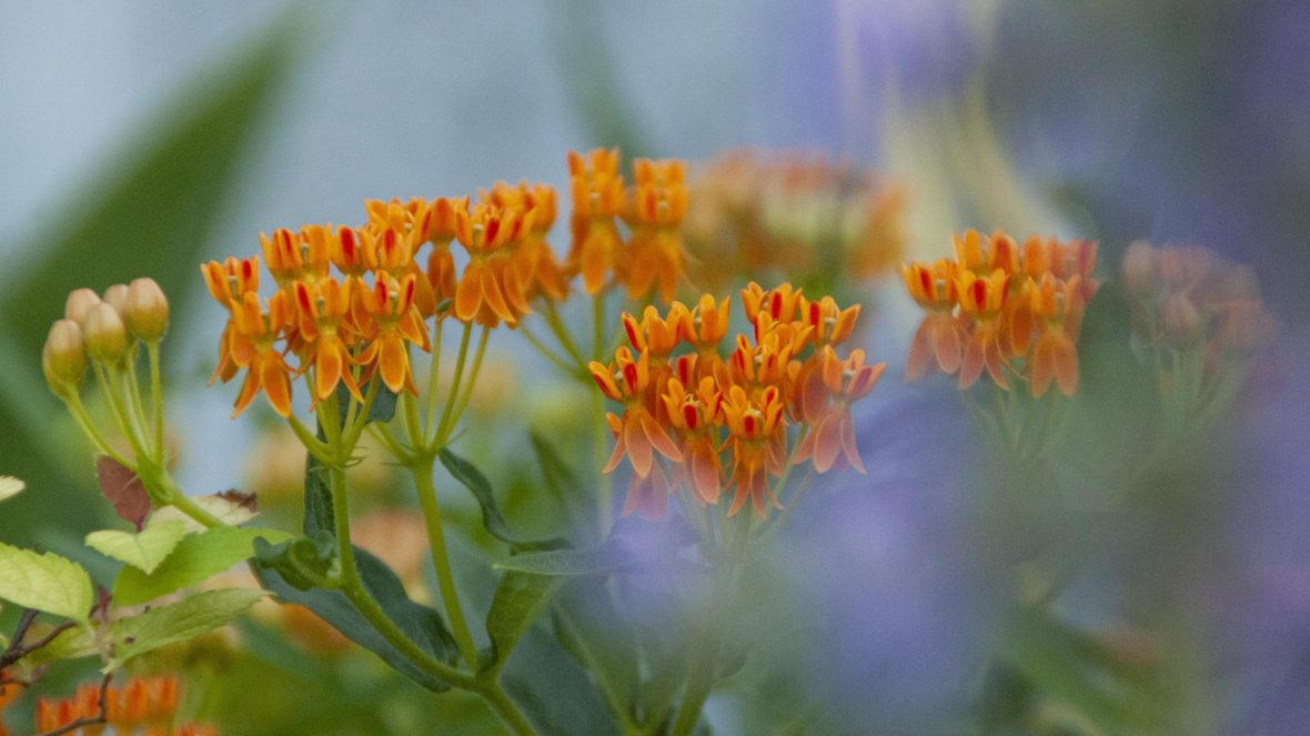 butterfly weed and catmint - ecology in the garden photography in bucks county pennsylvania