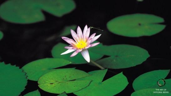 Lotus (Pink Green)