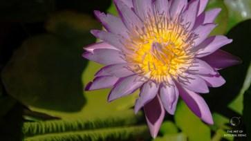 Lotus (Purple Close Up)