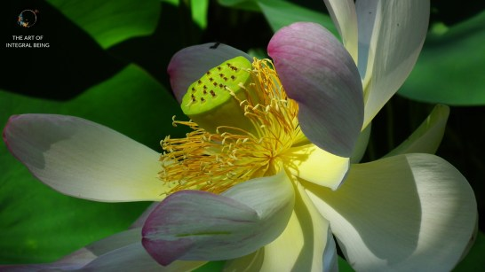 Lotus (White Soft Close Up)