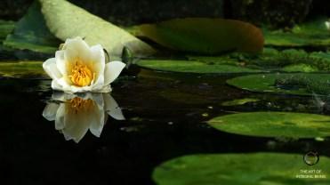 Lotus (White Water)