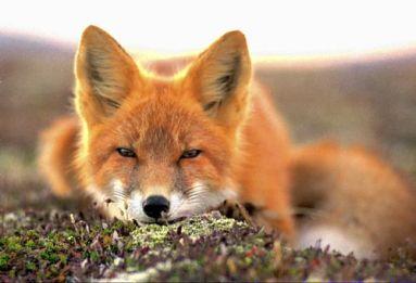 03-15-32_red-fox_original - Copy