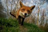 fox-portrait_2007285i-433x288 - Copy