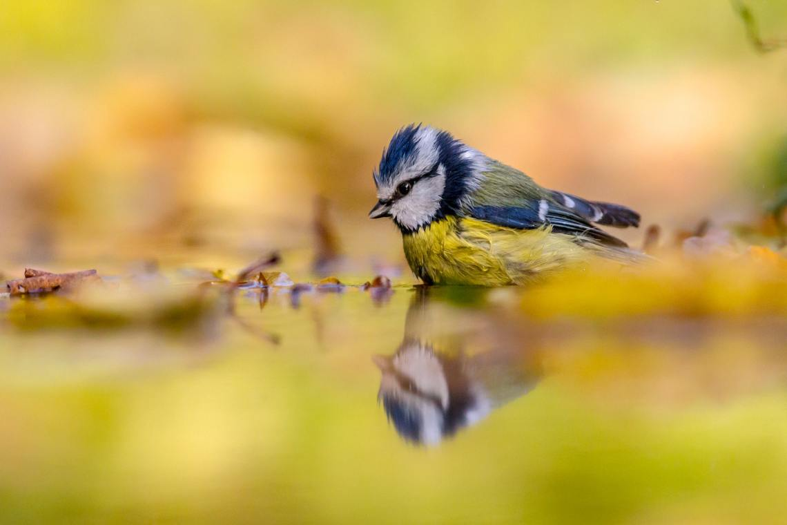Blue tit in water yellow background