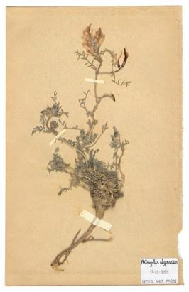 The Extinct Flora in Spain (Sketches) 08. Astragalus algerianus 源自西班牙的絕跡花草 (手稿) 08. Astragalus algerianus , 2019, Drawings on paper 繪畫、紙本, Courtesy of 双方藝廊 Double Square Gallery